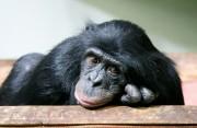 Der Affe als Krafttier - Symbolik und Bedeutung  Foto: ©  Lorna Roberts @ shutterstock